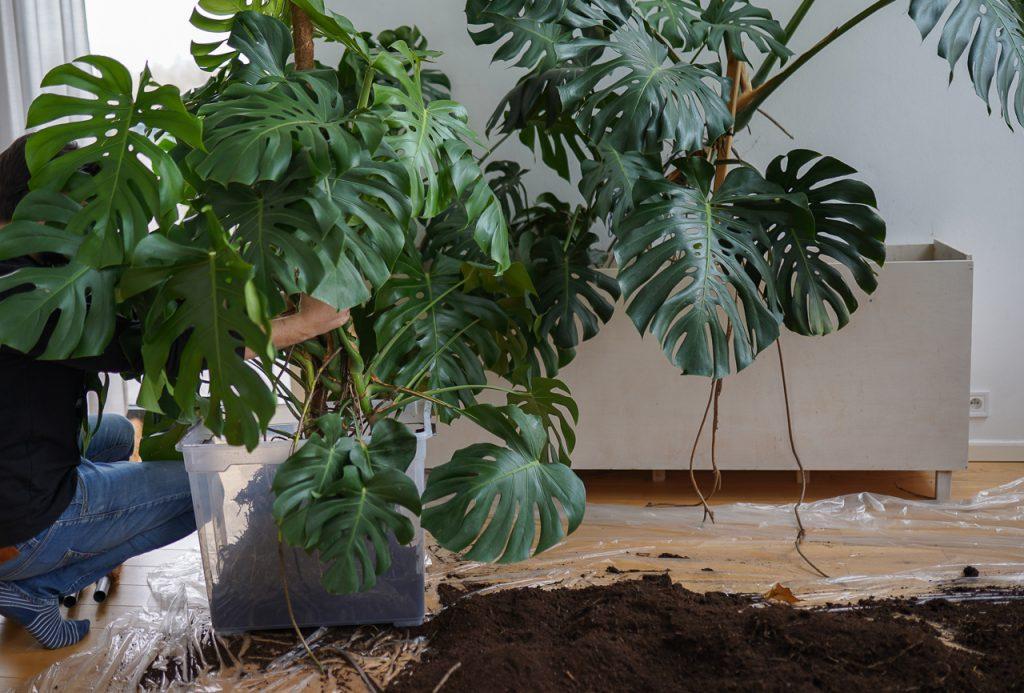 przesadzanie dużych roślin