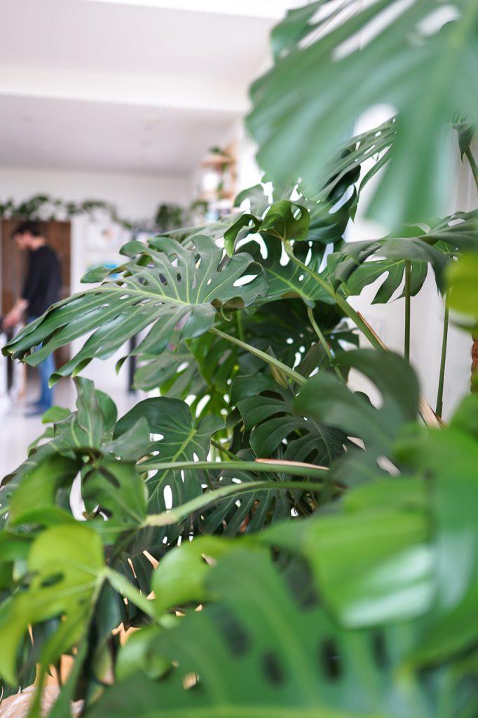 Monstery przesadzanie roślin do świeżej ziemi